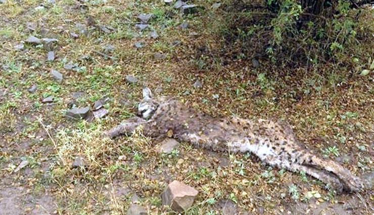Neslinin tükenmesine aldıran yok: Erzincan'da bir haftada iki vaşak öldürüldü