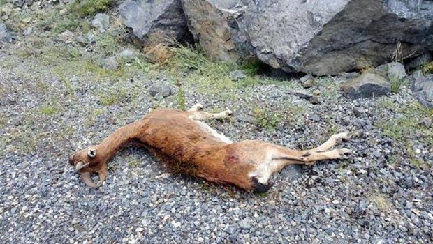 Çoruh Nehri'ne su içmeye inen yaban keçisini vurdular!