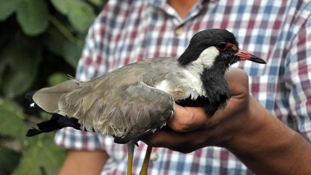Türkiye'de nadir görülen kızıl ibikli kız kuşu tüfekle vurulmuş halde bulundu