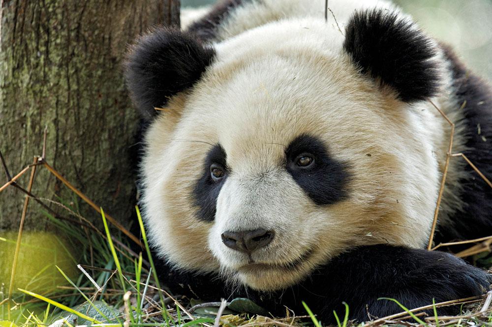 Pandalar çoğalıyor, Maymunlar azalıyor