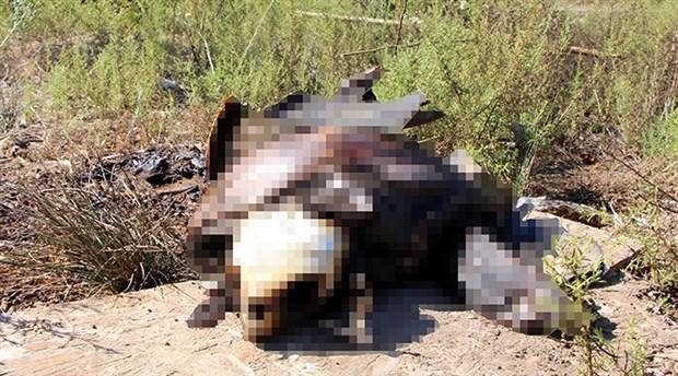 Fethiye'de Caretta Caretta yakılmış halde bulundu