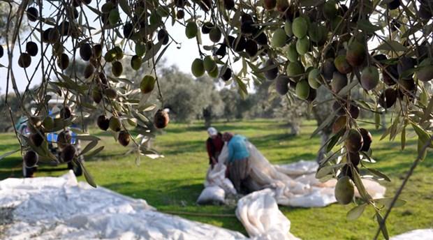 Meclis'e zeytinliklerin ölüm fermanı geliyor