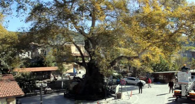 3 bin yıllık 'Musa Ağacı' kışa hazır