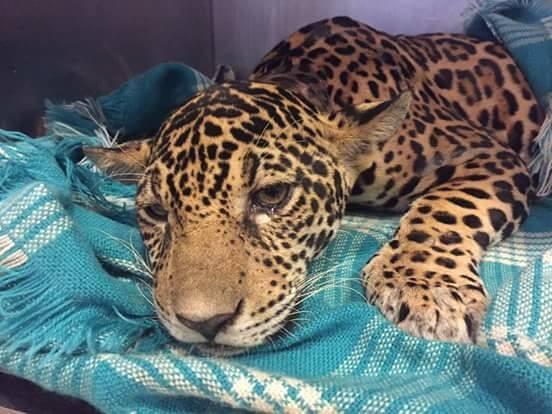 Palm yağı endüstrisi, yok etmeye devam ediyor: Yavru jaguarın vücudundan 18 kurşun çıkarıldı