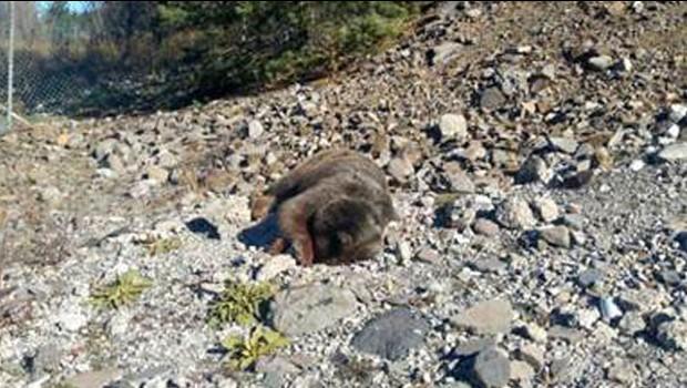 Bolu'da anne ayı ve yavrularını vurdular!