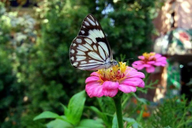'Beyaz Öncü' kelebeği ilk kez Siirt'te görüntülendi
