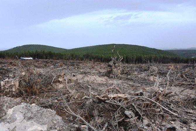 Balıkesir Dursunbey'de yanan ormana 660 Bin Karaçam fidanı dikilecek