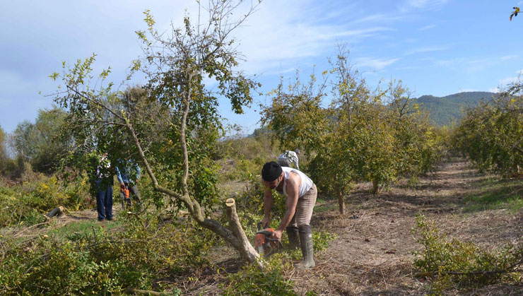 Tarımda 'kriz': Para kazanamayan üreticiler nar ağaçlarını söktü