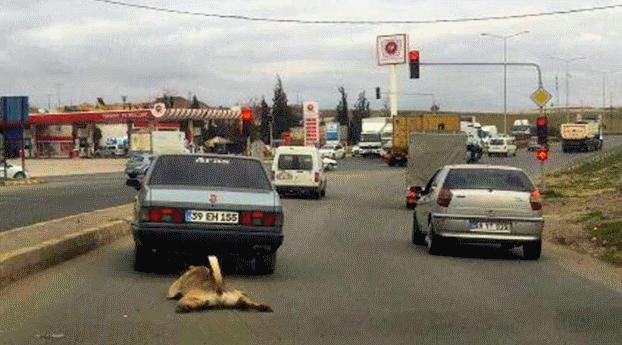 Tekirdağ'da köpeğini araca bağlayıp yaralayan sürücüye 526 lira ceza