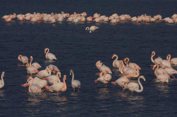 Flamingolar geldi, İnciraltı Kuş Cenneti'ne döndü
