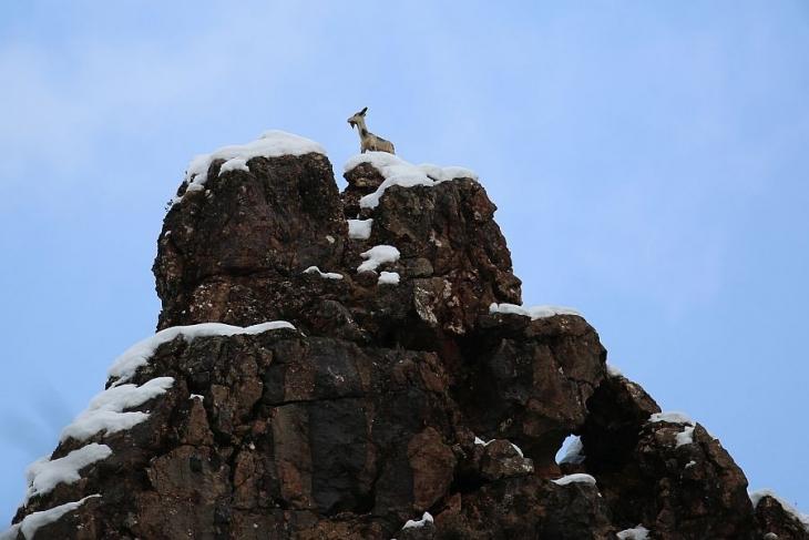 Köylüler dağ keçilerini maketle koruyor