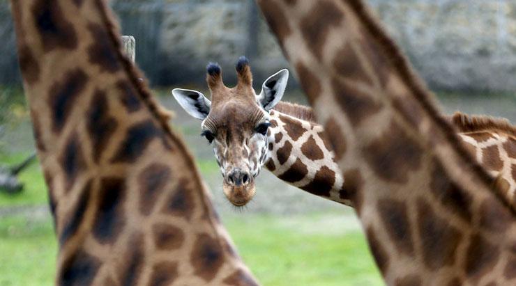 Son 30 yılda nüfusu yüzde 40 oranında azalan zürafalar 'sessizce' yok oluyor