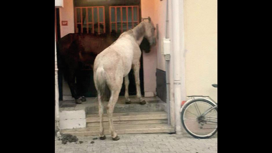 Büyükada'da terk edilen atlar apartmanlara sığındı