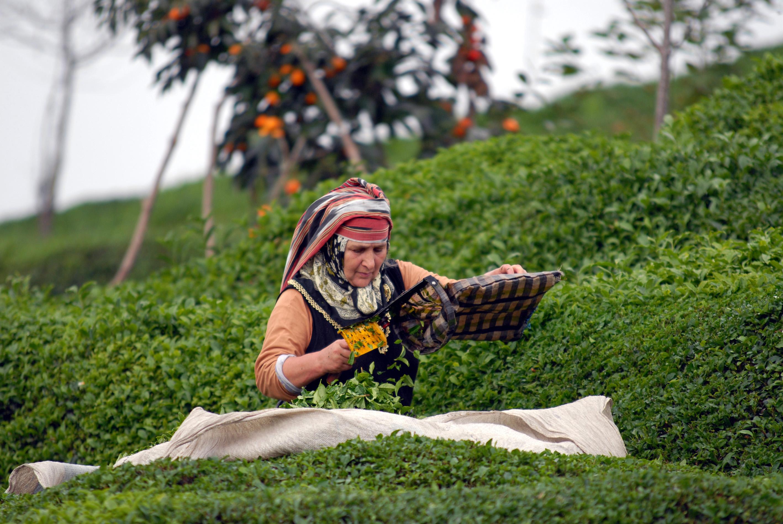 Çay üretiminde kimyasal gübre yasaklandı, organik gübre kullanımına geçilecek