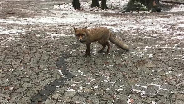 """Taş ocakları ve """"orman manzaralı"""" rant projelerinin delik deşik ettiği Fatih Ormanı'nda tilkiler aç kaldı"""