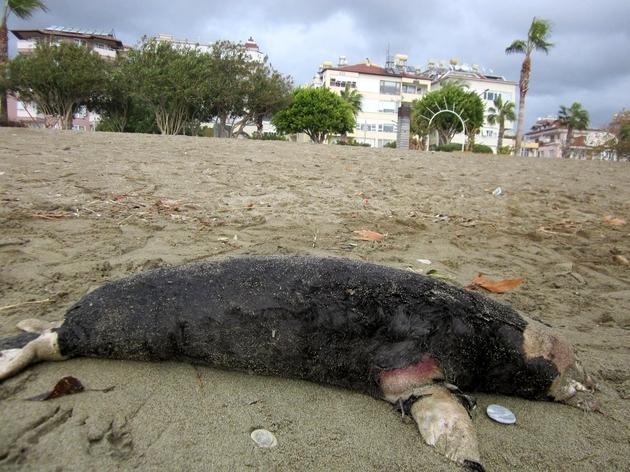 Alanya sahiline ölmüş halde bir Akdeniz Foku vurdu