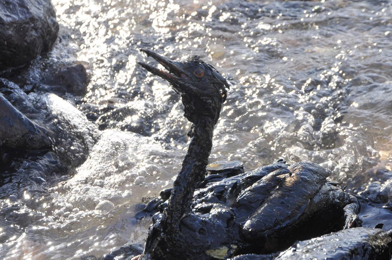 Körfez petrole bulandı, kuşlar can çekişiyor! #MarmarayıSavun