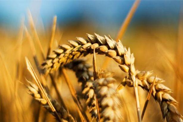 AKP'nin tarımda gurur tablosu: Türkiye 90 bin ton buğday ithal edecek!