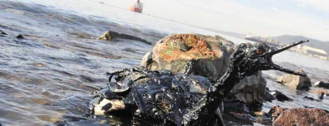 İzmit Körfezi'nde petrol faciası: Canlılar tehdit altında