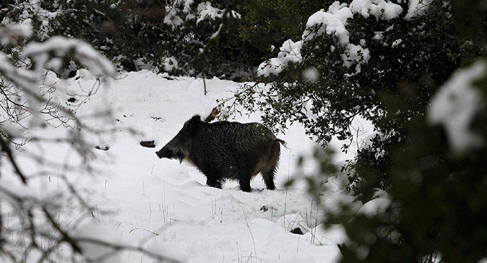 Çekya ormanlarında Çernobil'den 31 yıl sonra radyoaktif yaban domuzları bulundu