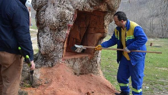 Silivri'de 400 yaşındaki çınar ağacının gövdesini testereyle oydular