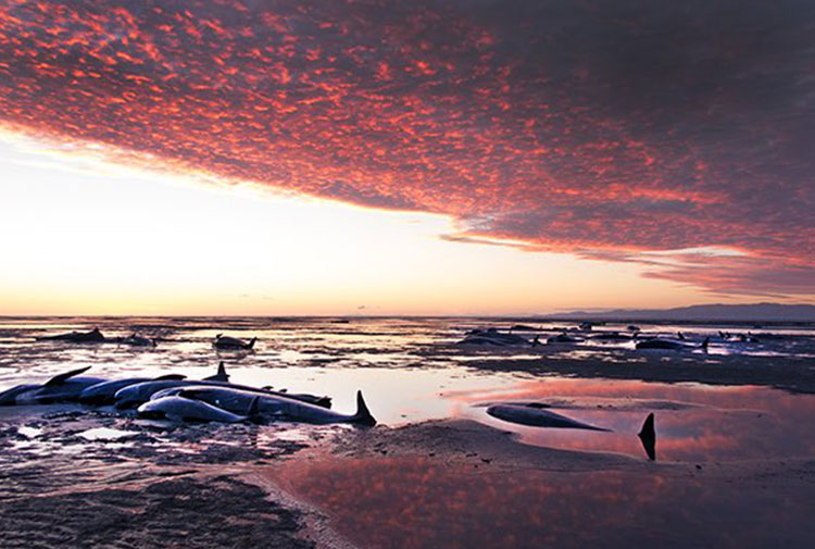 'Son yılların en büyük kaybı': Yeni Zelanda'da kıyıya vuran balinalardan yüzlercesi yaşamını yitirdi