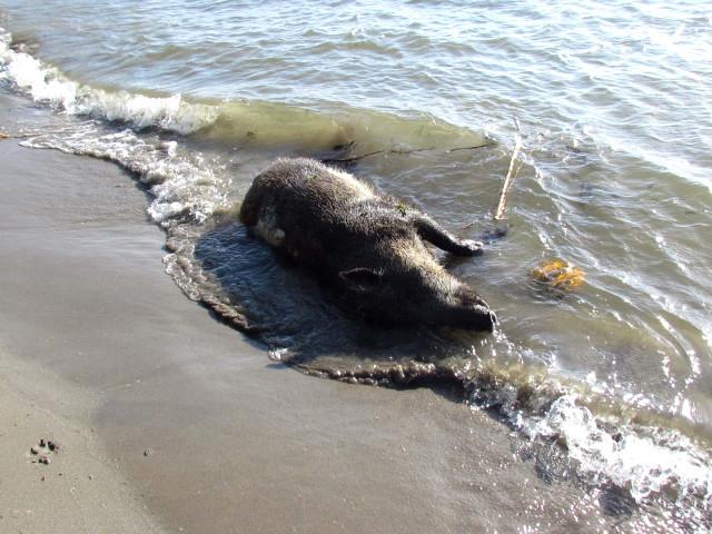 Büyük Menderes Nehrine atılan hayvan ölüleri 'biyolojik bomba' oldu