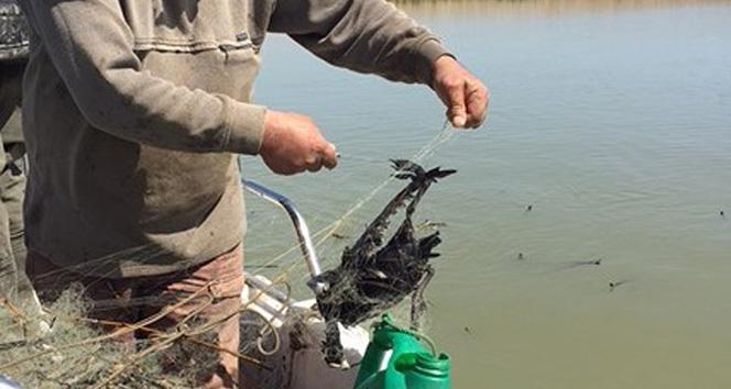 Manyas Kuş Cenneti'nde balıkçıların gelişigüzel bıraktıkları ağlar, kuşların ölümüne sebep oluyor