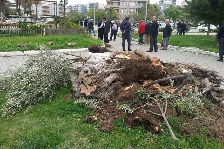 Aliağa Belediyesi yol inşaatı için 200-300 yıllık zeytin ağaçlarını yok etti