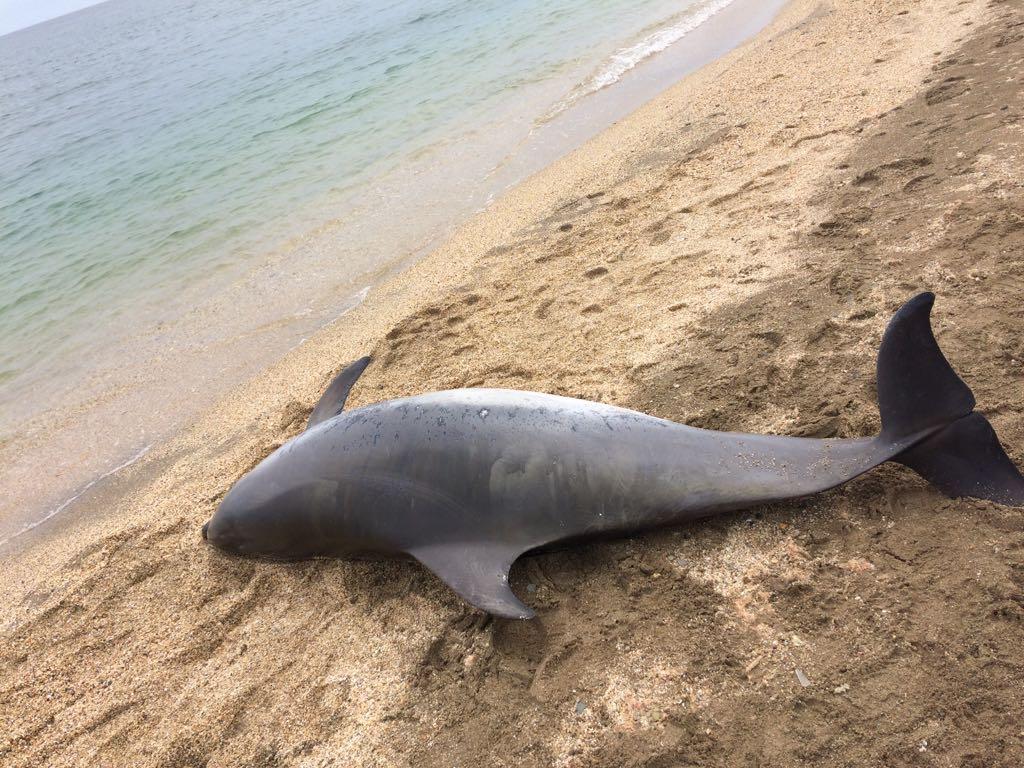 İğneada sahillerinde yunus ölümlerinin ardı ardı kesilmiyor