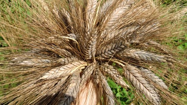 Kültepe'de bulunan 7 bin yıllık buğday tohumu Marmaris'te buğday oldu!