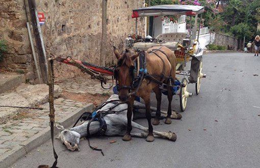 Atların normal ömrü 20 yıl, faytonda çalıştırılanların 2 yıl