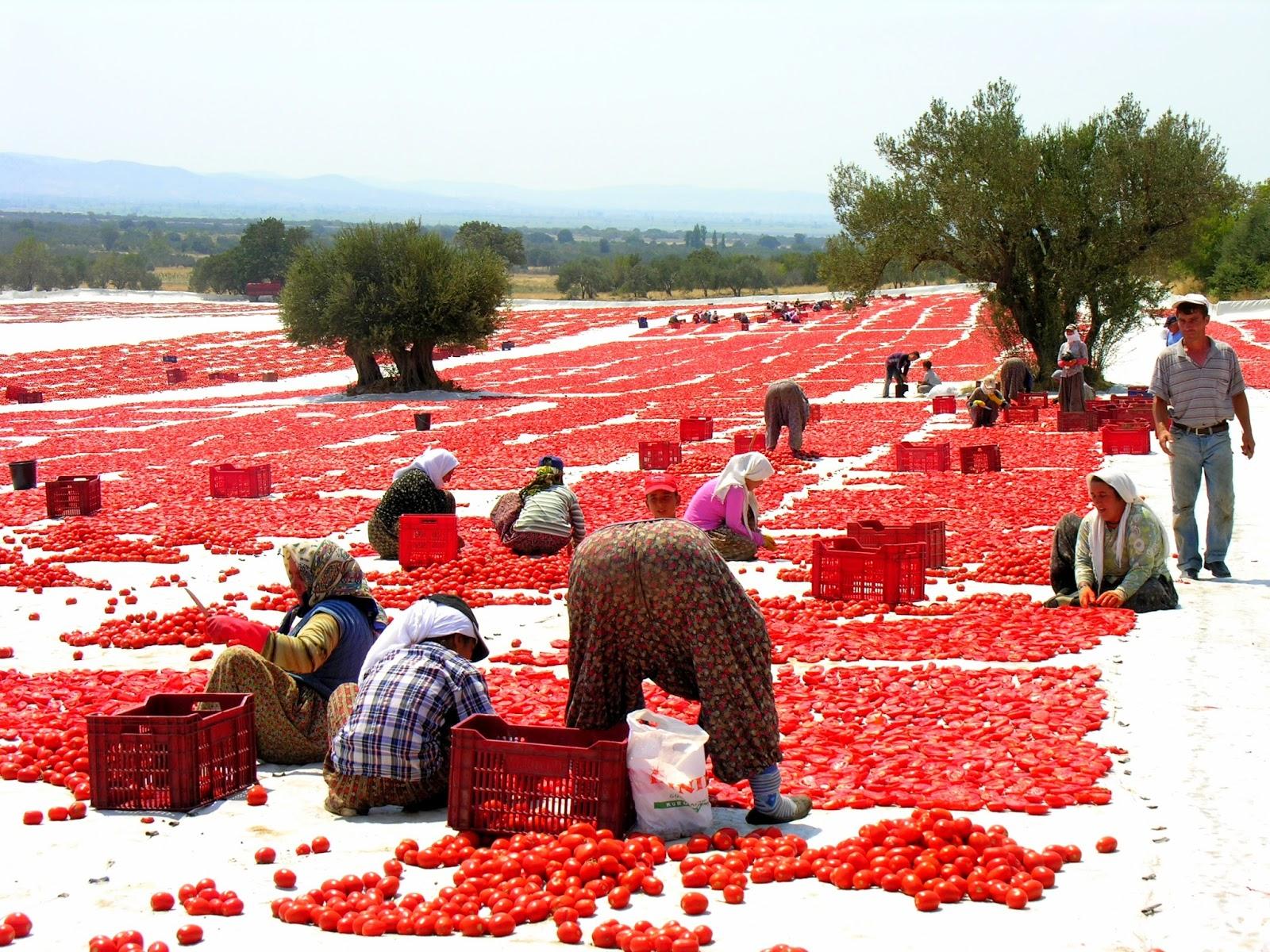 """""""Rusya domatesi bizden almadığı gibi bir de Türkiye'ye domates ihraç etmiş"""""""