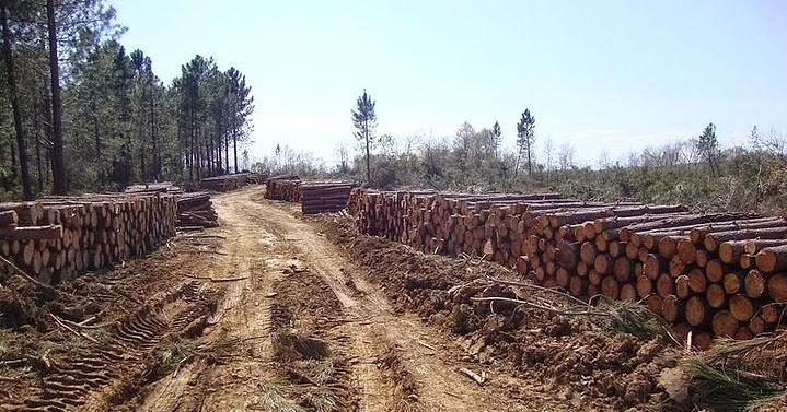 Sinop'ta nükleer santral için son iki yılda 350 binden fazla ağaç kesildi!