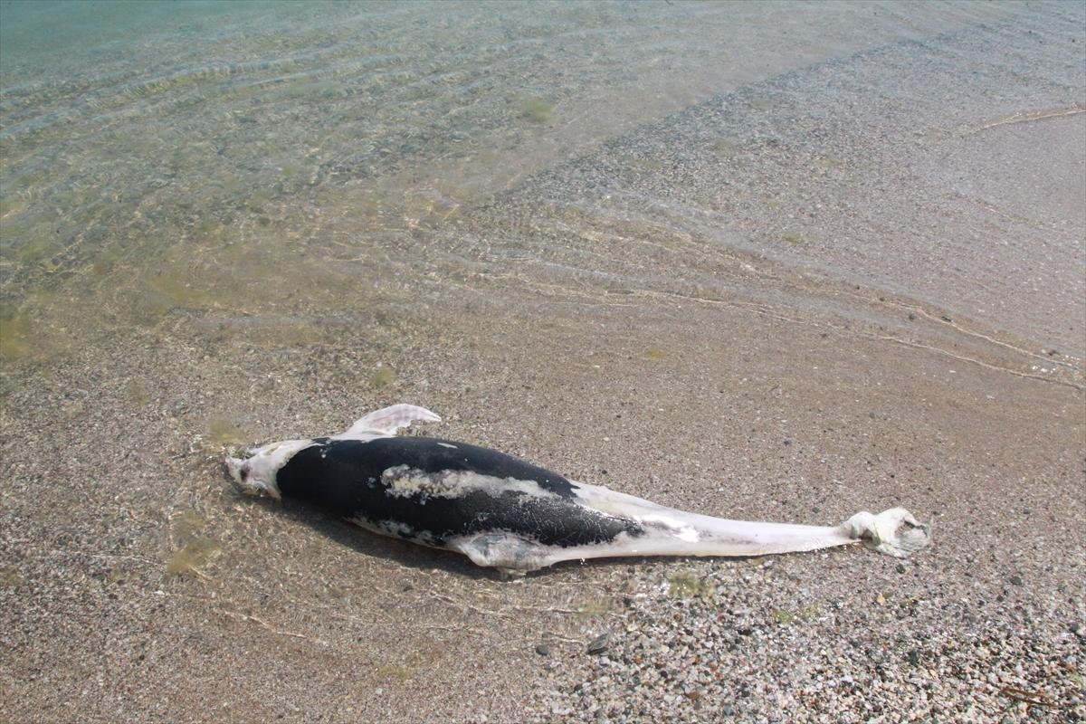 İğneada sahilinde ölmüş halde iki yunus bulundu