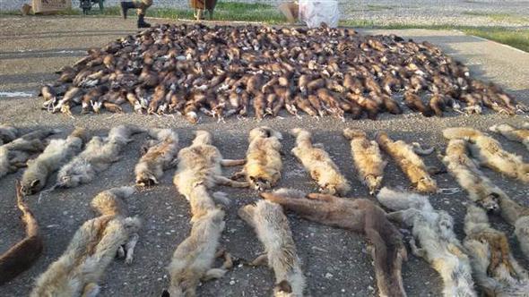 Anadolu'da yaban hayvanı katliamı: Yüzlerce kaya sansarı, tilki ve su samuru postu ele geçirildi