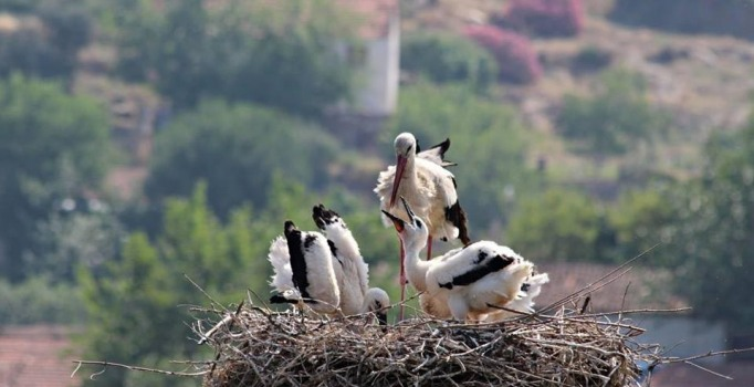 Doğa kirletildikçe Aydın'daki leylek sayısı azalıyor