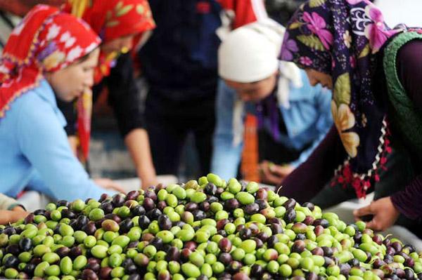 Ziraat odaları başkanları: Bu yasa çıkarsa zeytincilikte de dışa bağımlı oluruz!
