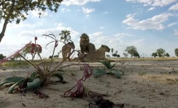 'Avcılara hedef olan' Afrika'nın sembol aslanı Cecil'in oğlu da Zimbabve'de vurularak öldürüldü