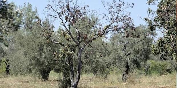 Zeytin ağaçlarının suyunu hidroelektrik santrale verdiler, 23 bin zeytin ağacı kuruyor!