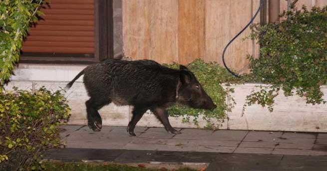 Tahribat hayvanların bile dengesini bozdu; şehre inen domuzlar, tilkiler, kirpiler…