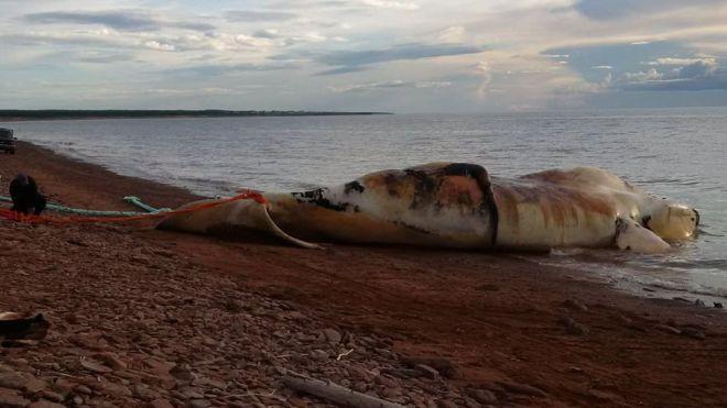 Buzul balinası ölümleri 'felaket' boyutuna ulaştı