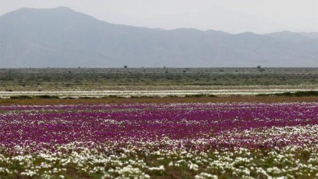 Şili'deki Atacama Çölü nadiren yağan yağmurla çiçek tarlasına dönüştü