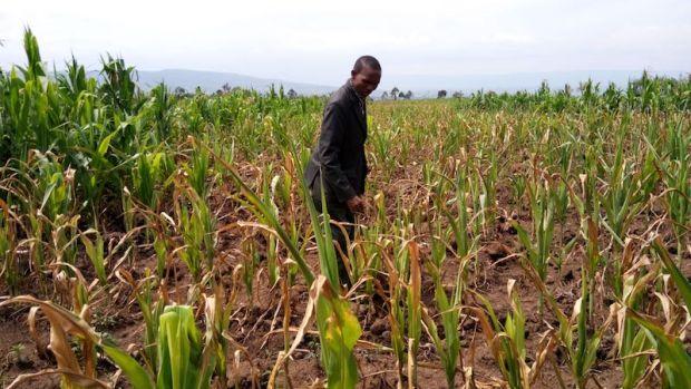 Kenya gıda krizi ile karşı karşıya: Çiftçiler mısır kıtlığı nedeniyle çiftliklerini terk ediyor!