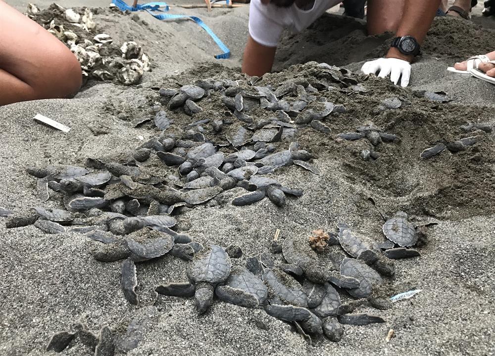 Samandağ sahillerinde yuvalarından çıkan 25 bin kaplumbağa denize ulaştı