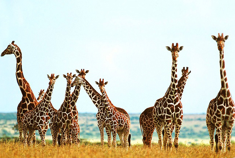 Nedeni doğal alanlarının yok edilmesi ve kaçak avlanma: Zürafalar 'sessizce' yok oluyor