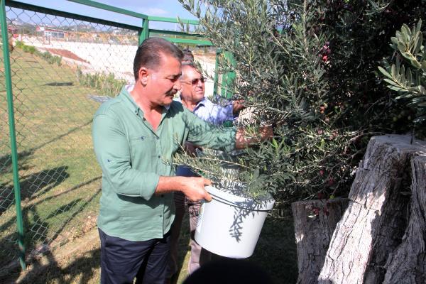 Kesilmişken yeniden dikilen 8 asırlık zeytin ağacı14 kilo zeytin verdi
