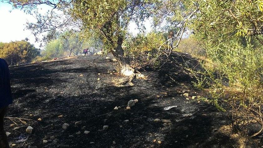 Dikili'de 7 dönüm zeytinlik yanarak tahrip oldu