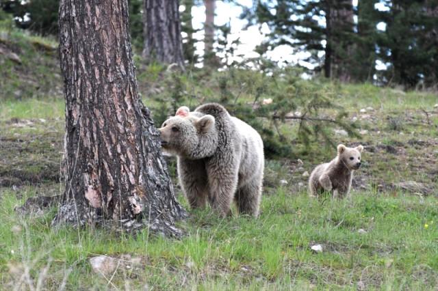 Yaz gelince Artvin ormanlarına göç eden boz ayılar kış uykusu için Sarıkamış yolunda