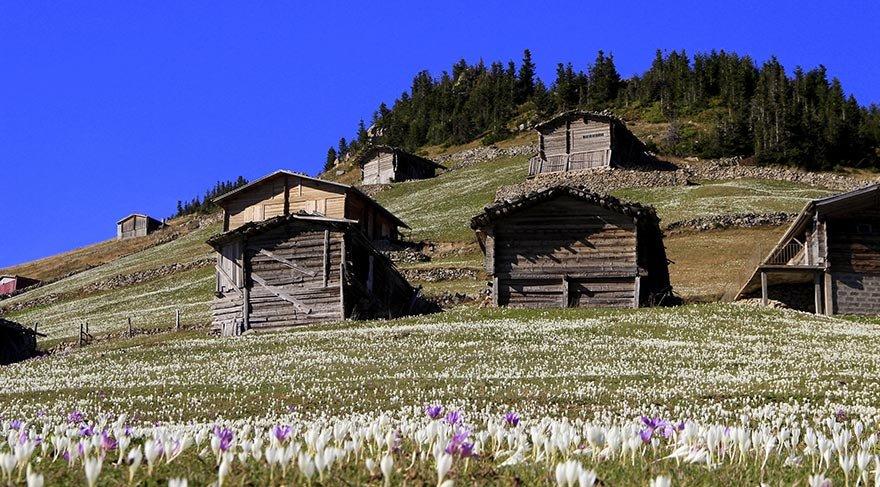Doğu Karadeniz yaylaları 'Vargit' çiçekleri ile beyaza büründü